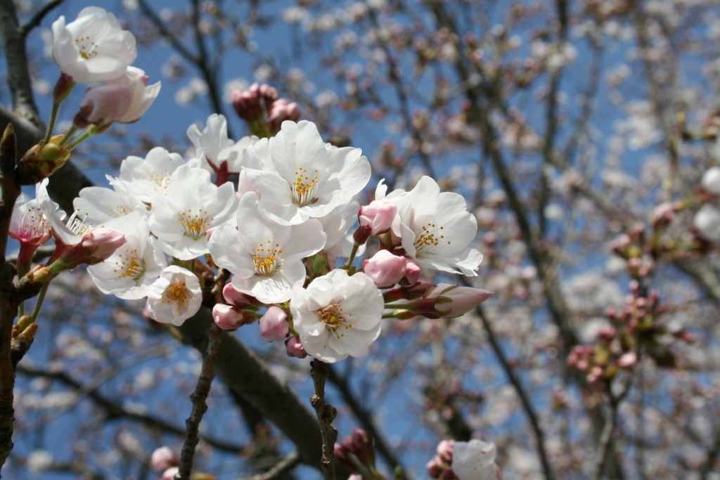 cherry-blossom-1373740-1279x852